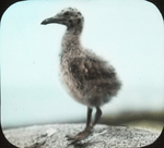 Young Herring Gull, Matinicus, Maine