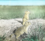 Gophers by Burrow, North Dakota