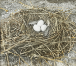Nest of Brown Pelican, Pelican Island, Florida