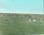 Cattle on Manitoba Prairie, Saint Marks, Manitoba