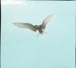 Arctic Tern, Seal Island, Nova Scotia