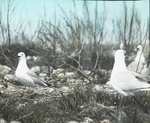 Ring-billed Gulls by Nests, North Dakota