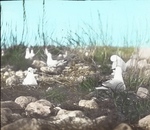 Ring-billed Gulls Incubating, North Dakota