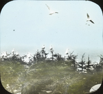Herring Gulls by Sea, Matinicus, Maine