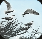 Herring Gulls Leaving Tree, Matinicus, Maine