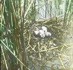 Nest of Holboell's Grebe [Red-necked Grebe], North Dakota by Herbert Keightley Job