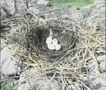 Nest of Double-crested Cormorant, North Dakota