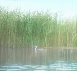 Western Grebe, Near Nest, North Dakota
