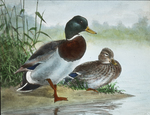 Mallard [watercolor drawing] by Herbert Keightley Job
