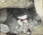 Black Guillemot on Nest, Seal Island, Nova Scotia