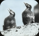 Young Black Guillemots, Matinicus, Maine