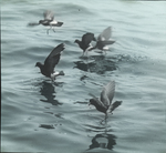 Wilson's Petrels Feeding [Wilson's Storm-petrels] , Chatham, Massachusetts