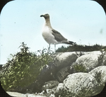 Herring Gull on Rock, Matinicus, Maine
