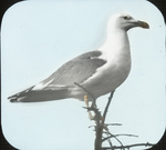 Herring Gull, on Tree, Matinicus, Maine
