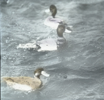 Lesser Scaup Ducks, Male and Female, Palm Beach, Florida