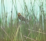 Female Yellow-headed Blackbird Bringing Fly to Young, Assiniboia [Canada]