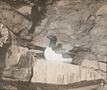 Brunnich's Murre [Thick-billed Murre], Bird Rock, Magdalen Islands [Quebec]