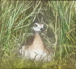 Wilson's Phalarope on Nest, Assiniboia [Canada]