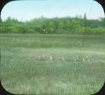 Lesser Yellowlegs on Marsh, N. Manitoba by Herbert Keightley Job
