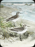 Least and Semipalmated Sandpipers [watercolor drawing]