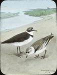 Ring-necked and Piping Plovers [watercolor drawing]