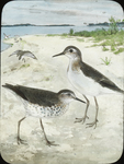 Spotted Sandpiper [watercolor drawing]