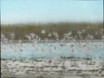 Sandpipers Flying over Flats, Western Louisiana