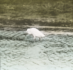 Snowy Egret, Lower Mississippi River, Louisiana