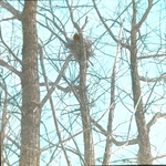 Great Horned Owl on Nest, Ground, Tail Shows, Warren, Connecticut