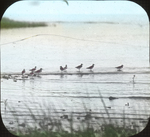 Flock of Turnstones, Louisiana