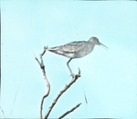 Willet, Scolding, Smith's Island, Virginia