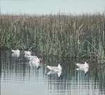 Franklin's Gulls in Pool, Assiniboia [Canada]