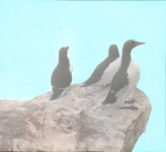 Murres and Razor-billed Auk [Razorbills], Bird Rock, P. I. [Magdalen Islands, Quebec]
