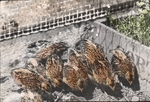 Quail, Three Weeks Old, Brooder, Massachusetts Hatchery