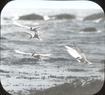 Arctic Terns Feeding, Matinicus, Maine