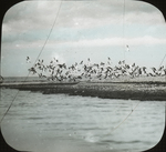 Black Skimmers Rising from Point, Mitchell's Key [Mitchell Key or Mitchell Island], Louisiana