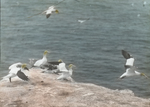 Gannets, North Bird Rock, Magdalen Islands [Quebec]