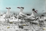 Royal Terns at Nests, South West Key, Louisiana