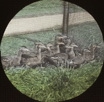 Young Wood Ducks, Rockefeller's, New York