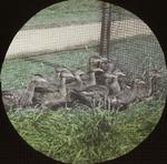Young Wood Ducks, Rockefeller's, New York