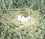 Nest of Marsh Hawk [Northern Harrier], Eggs and Young, North Dakota