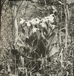 Untitled: Clump of Flowering Lady's-slipper by Herbert Keightley Job