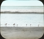 Turnstones and Red-b. Sandpipers, Louisiana