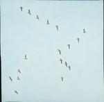 Blue Geese [Snow Geese] and C. [Company?], Chenier Tigre [Cheniere au Tigre], Louisiana