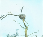 Osprey over Nest, Florida