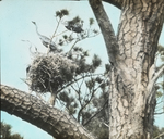 Great Blue Herons and Nests, Brighton, Virginia