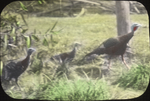 Wild Turkey Gobbler and Young, Woodmont Club, Maryland