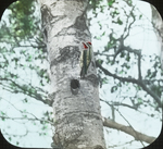 Male Yellow-bellied Sapsucker at Nest, N. Manitoba