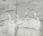 Kittiwakes [Black-legged Kittiwakes] on Bird Rock, Magdalen Islands [Quebec]