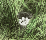 Nest of Baldpate [American Wigeon], North Dakota
